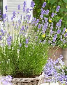 Lavandula Angustifolia Lavender Pack Of 10