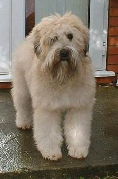 soft coated wheaten terrier haircut photos pin by soft coated wheaten terrier but this guy needs a haircut wheaten terrier soft coated
