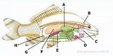 Berikut Ini Gambar Anatomi Tubuh Pisces Ikan Sebutkan