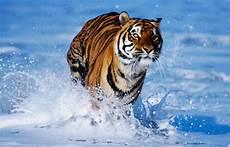 Klasifikasi Hewan Harimau Lengkap Generasi Biologi