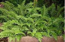farn pflege draußen biodiversit 228 tsprojekt hilfe f 252 r hochgef 228 hrdete pflanzen