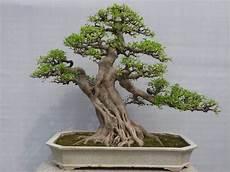 bonsai ficus benjamini bonsai ficus care and maintenance guideline inspiration