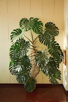 zimmerpflanzen groß pflegeleicht indoor plant decorating ideas indoor plants ideas