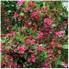 arbustes à fleurs rouges r 233 sultat de recherche d images pour quot petit arbuste fleur