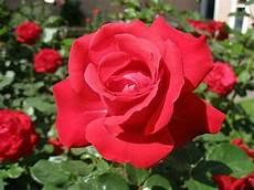 Gambar Pohon Bunga Mawar Merah Ar Production