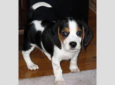 Beagle Puppy wallpaper   Free Animal Wallpapers