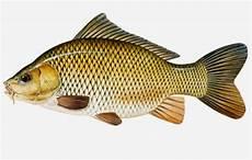 Makalah Morfologi Dan Anatomi Ikan Cyprinus Carpio