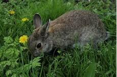 Ausmalbilder Tiere Hasen Ausmalbild Hase Feldhase Kostenlose Malvorlagen