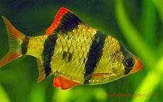 Jenis Ikan Hias Air Tawar Warna Belang Kuning Hitam Ikan