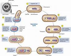 reproduction in bacteria