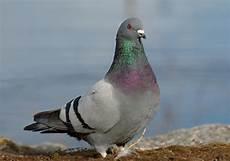 Daftar Harga Burung Dara Terbaru September 2020 Terlengkap