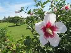 hibiskus strauch schneiden der garten hibiskus oder auch roseneibisch genannt