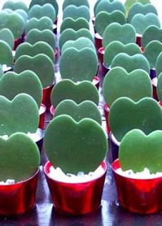 plante hoya kerrii piante cuoriformi 25mq di verde