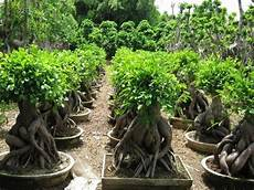 What Is A Ginseng Ficus Exactly