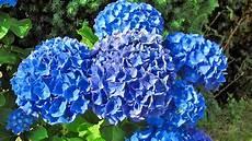so behalten blaue hortensien ihre farbe ndr de
