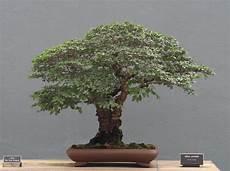 file ulmus parvifolia bonsai at the bbg august 2 2008