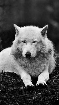 black and white wolf wallpaper iphone alpha wolf wallpapers wallpaper cave