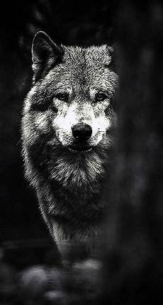 Wolf Wallpaper Hd Phone
