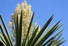 yucca palme pflegen the ultimate green guide to yucca palm care