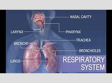 primary functions of respiratory system