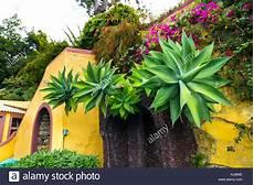 agave attenuata pflanzen im botanischen garten jardim