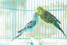 gabbia cocorite gabbie per cocorite uccelli esotici voliere per le