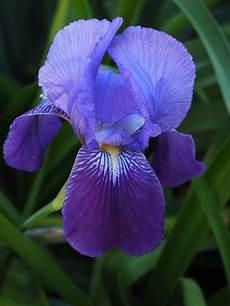 iris fiore immagini iris flower 183 free photo on pixabay
