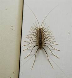 insettini bianchi in casa mi girano per casa scutigera coleoptrata forum