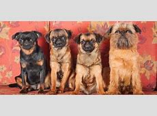 Get to Know the Brussels Griffon: The Grumpy Looking Gremlin