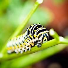 Insect Caterpillar Wallpaper by Caterpillar Insect Wallpaper Nobon