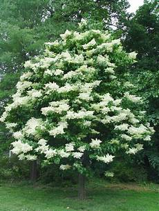 lilac tree japanese lilac tree we had a pretty large one in our
