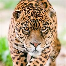 jaguar information for jaguar animal facts and information