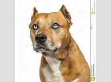 Close up Of An American Staffordshire Terrier, Looking Up
