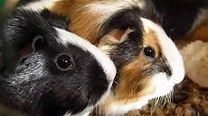 was sind haustiere beliebte haustiere meerschweinchen