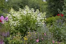 was passt zu hortensien hortensien das passt dazu hortensien blumen stauden