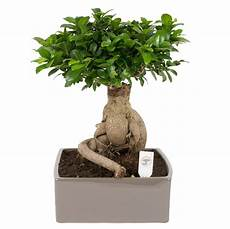 Ficus Ginseng Beautiful Whimsical And Artistic Florastore