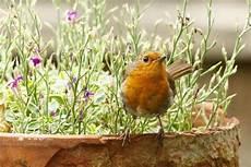 Vogel Malvorlagen Instagram Pin Rdwheeler Auf Birds Rotkehlchen Pflanzen Vogel