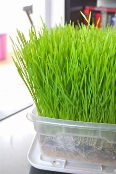 how to grow wheat grass indoors super easy and cheap