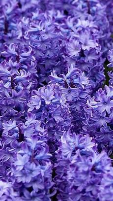 iphone purple flower wallpaper flower iphone backgrounds pixelstalk net