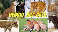 Panthera Hybrids Hybrid Big Cats