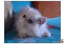 prezzi gatti persiani gattini persiani vari colori in vendita a magnago mi