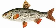 fischarten liste mit bildern einheimische fische