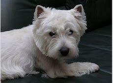 West Highland White Terrier   Hunderasse W   Hundeseite.de