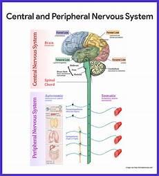 nervous system anatomy and physiology nurseslabs