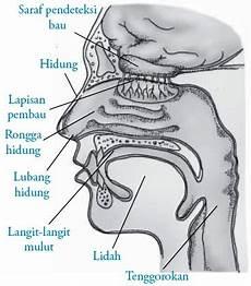 Fungsi Sel Reseptor Saraf Pada Hidung Manusia Indera Pembau