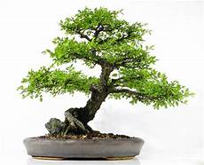 Bonsai Baum Kaufen - orme du japon ulmus japonica bonsai pictures for