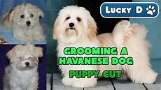 grooming a havanese dog puppy cut youtube