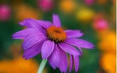 blume lila lila blume