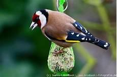 der stieglitz steckbrief brutzeit nahrung vogel