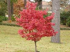 japanese maples east gardening